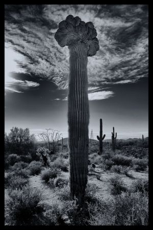 Crested Saguaro in Black & White